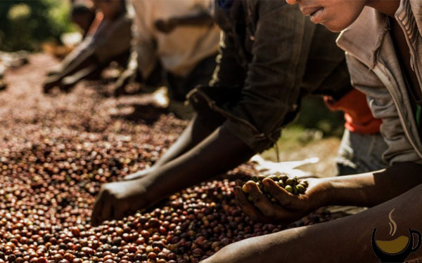 قهوه در قاره آفریقا